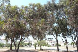 эвкалиптовая роща на Кипре