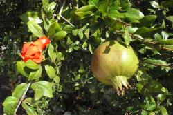 цветок и плод кипрского граната