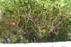 апельсиновые деревья в саду Кипра