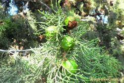 растения Кипра - кипарис с шишками