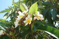 растения Кипра - плюмерия