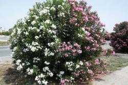 цветы Кипра - ядовитый олеандр
