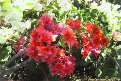цветы Кипра - Бугенвиллия