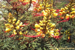 цветы Кипра - Цезальпиния Гиллиса